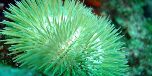 Ouriço Verde (Lytechinus variegatus)
