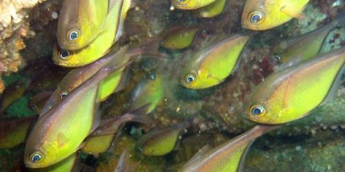 Papudinhas ou piabas-do-mar (Pempheris schomburgki)